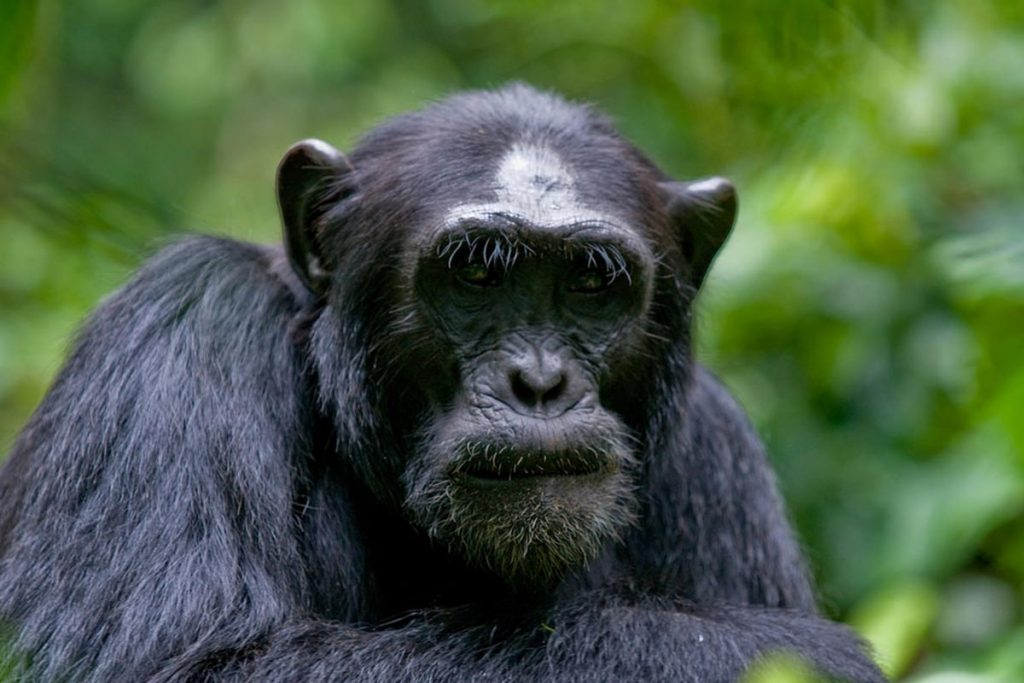 3 Days Kibale Chimpanzee Tracking Safari