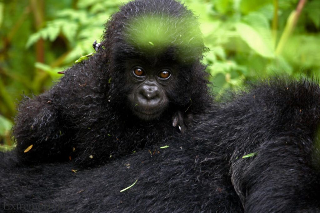 Rwanda Gorilla Safaris and Tours