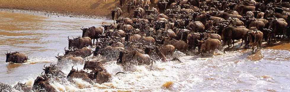 Wildebeest migration serengeti and masai mara 2014