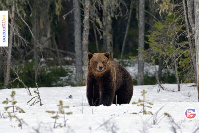 Возможный выход медведей в населённые пункты
