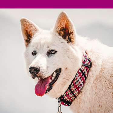 Dog wears pink collar with pink color bar