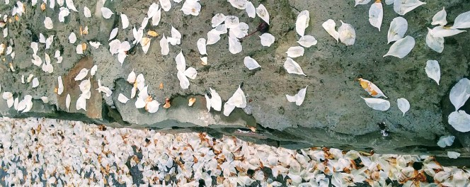 Petals like confetti - the solstice is a traditional time for weddings. Copyright Catherine Goshen 2017
