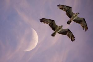Twin birds at New Moon by Ralph Mayhew