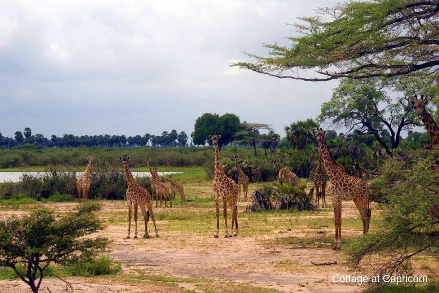 Giraffes in Selous