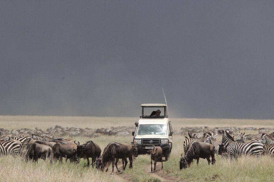 Game drive during the great wildebeest migration. 8 Tips to See the Best of the Great Migration Calving Season. Gosheni Safaris