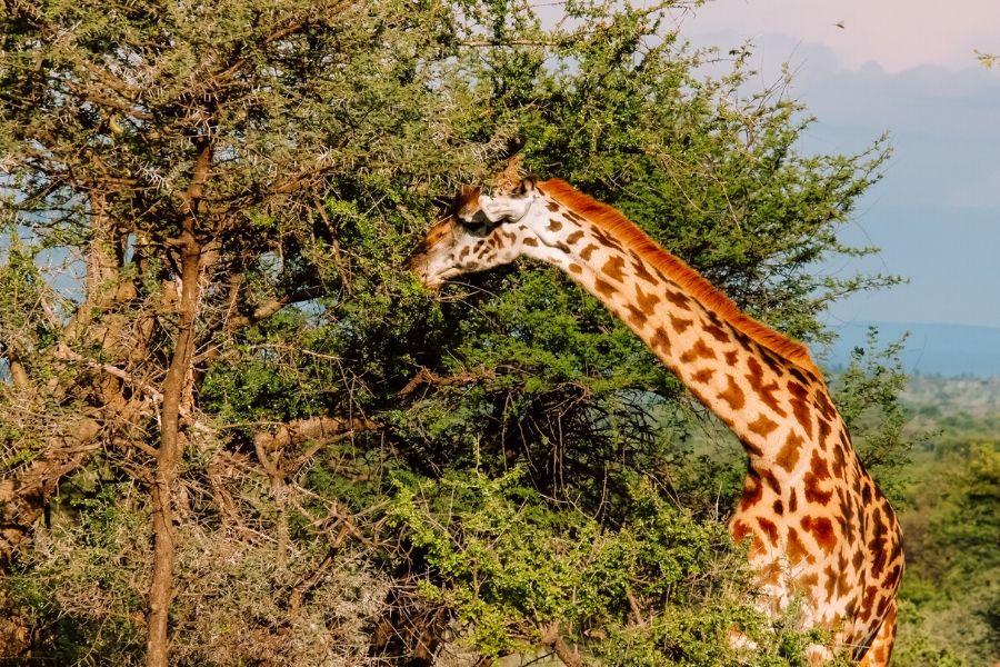 Giraffe in Kenya. Wildlife Photography Tips for Your Next Kenya Safari. Gosheni Safari