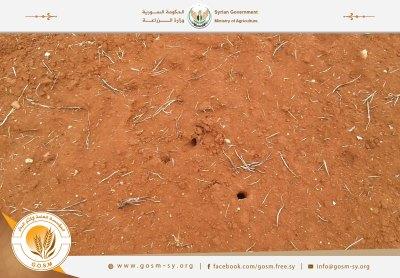 رصد انتشار آفة فأر الحقل