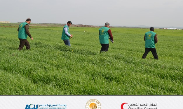 The start of field purification for wheat crop from exotic varieties