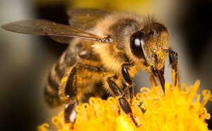 Meeting the dietary needs of honey bees is tough for South African beekeepers