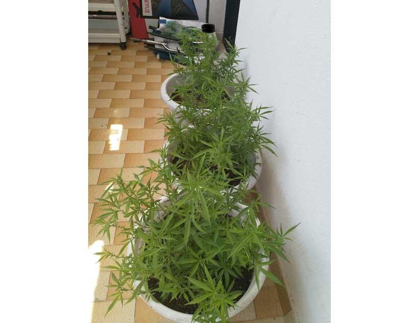 Συνελήφθη 59χρονος στην ευρύτερη περιοχή της Πρέβεζας για καλλιέργεια δενδρυλλίων κάνναβης
