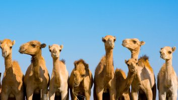 animals_hero_camels