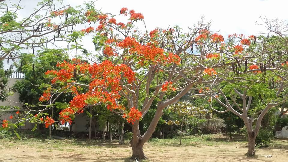 St Maarten Tree