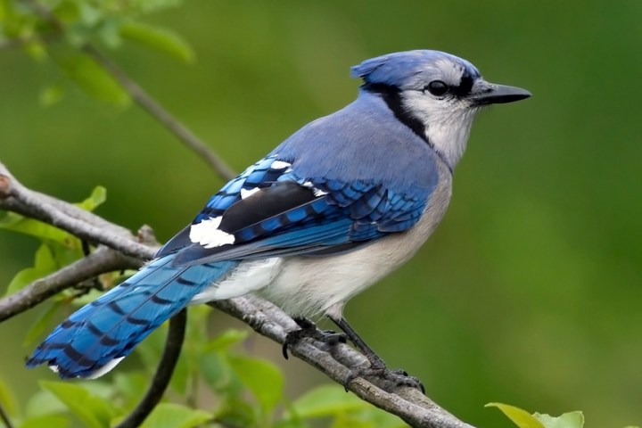 bluejay-15-common-animal-messengers-and-their-meaning