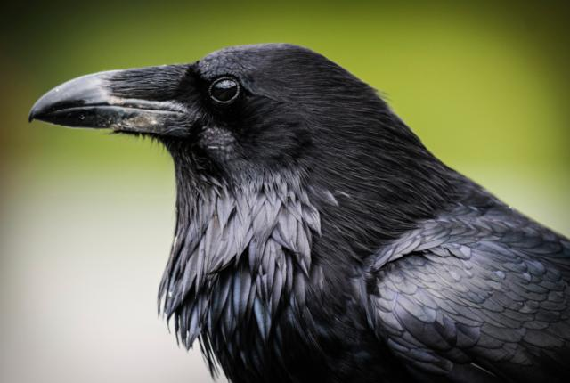 raven-15-common-animal-messengers-and-their-meaning