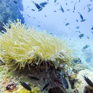 潛進泰國,龜島White Rock巧遇藍點魟