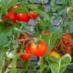 Розсада помідорів. Як виростити?