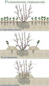 размножение-отводками1