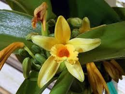 квітка ванілі