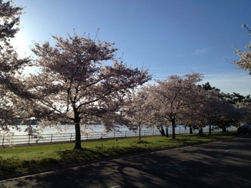 Hains Point Cherry Blossom Trees