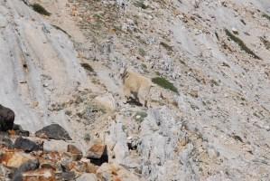 Indignant Mountain Goats