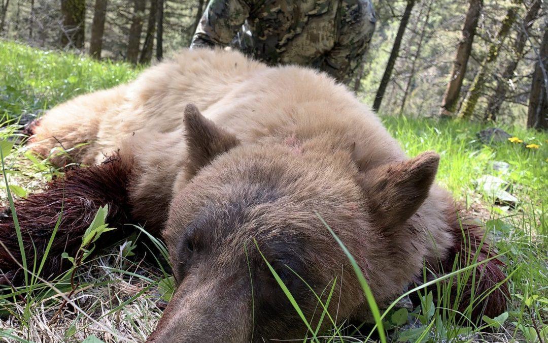 Spring Bear Hunting