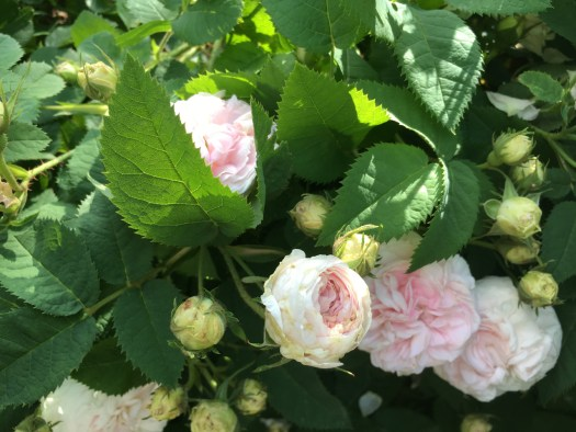 Tea roses at Morris Jumel Mansion