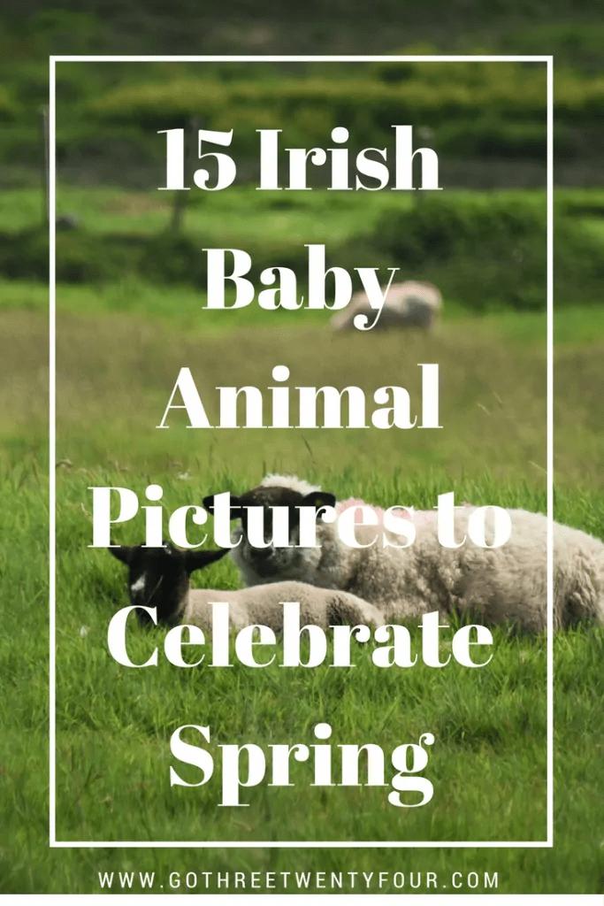 15-irish-baby-animal-pictures-to-celebrate-spring-design-3