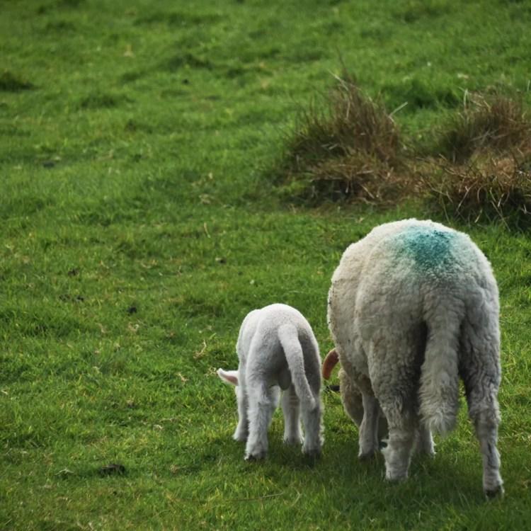 Sheep and lamb.
