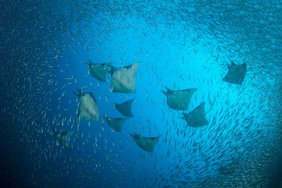 Mobula rays (Mobula sp.) send schooling silversides (Atheriniformes sp.) scattering as they pass through in formation. Raja Ampat, Indonesia.