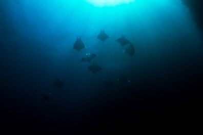 A group of Mobulas (mobula sp.) heads for the surface in a channel between two isalnds in southern Raja Ampat. Raja Ampat, Indonesia.
