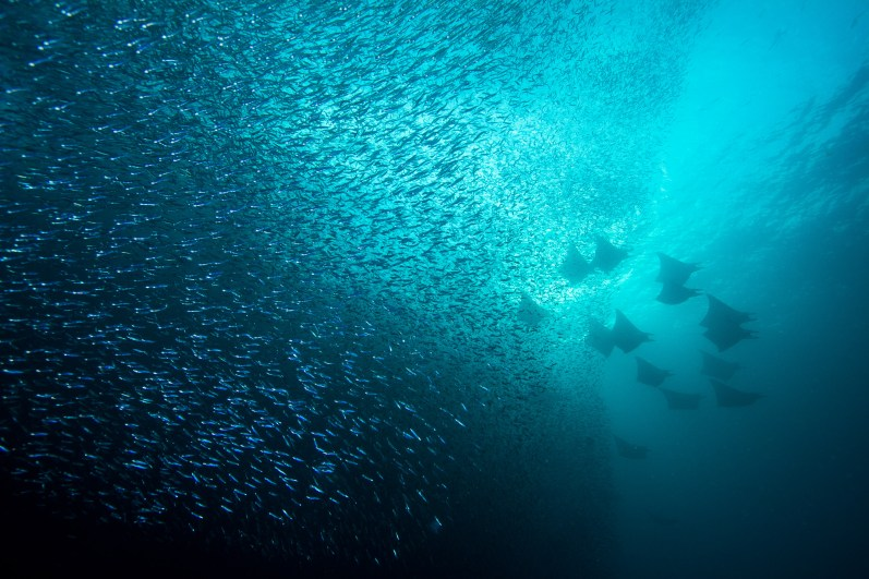 Mobula rays (Mobula sp.) emerge from a shoal of silversides (Atheriniformes sp.) as they pass through the narrow channel of the Three Sisters dive site in southern Raja Ampat. Raja Ampat, Indonesia.