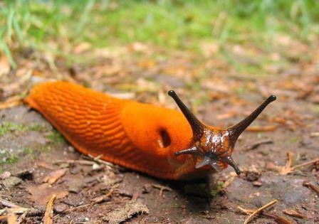 Orange_slug