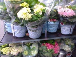 Hydrangea for sale