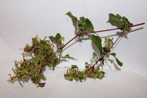 Fuchsia gall mite