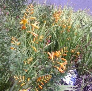 crocosmia yellow