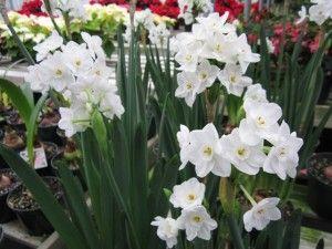 Narcissus papyraceus 'Ziva'