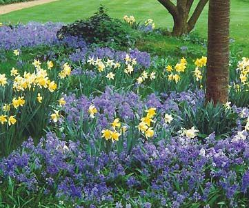 daffodils bluebells