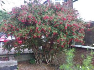 tall fuchsia bush