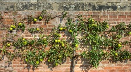 Espalier apple tree