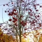 rowan-berries
