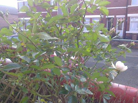 Rose bush flowering in January in manchester