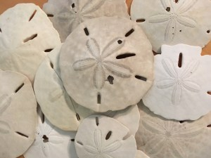 Sand dollars, dried.