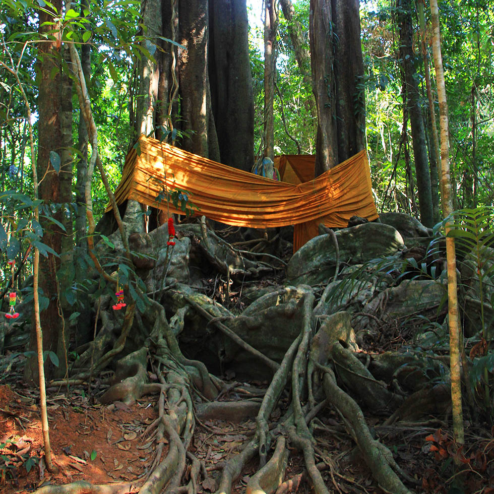 The 500 year old Makka Tree in Koh Kood