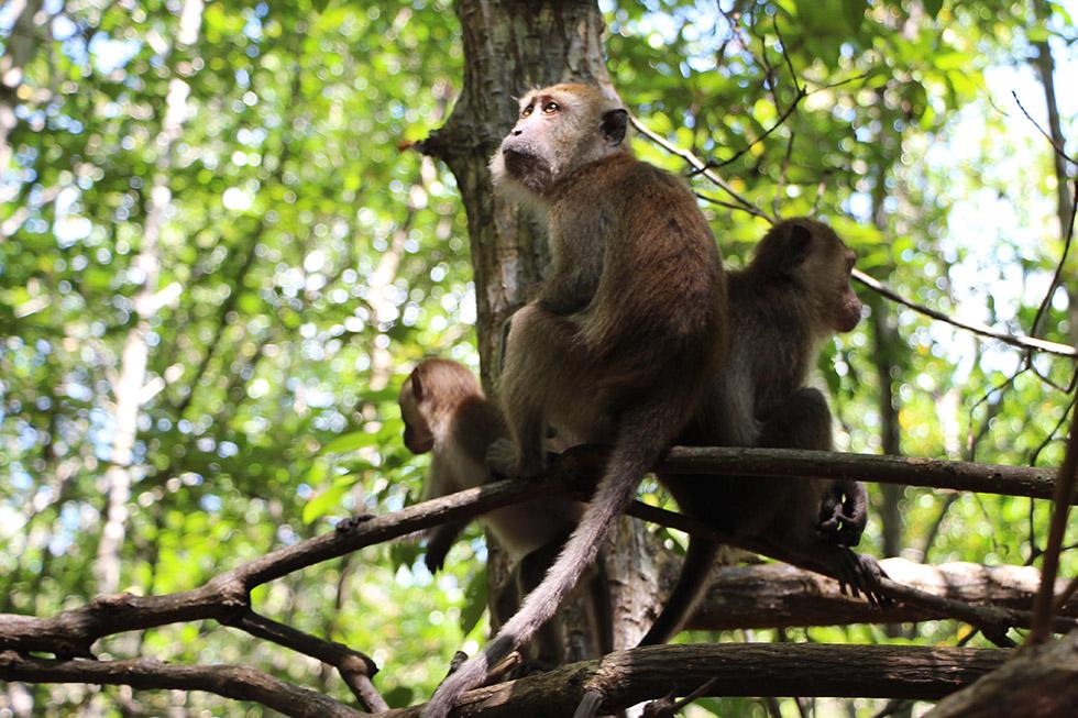 Monkeys at the Tha Lane Bay