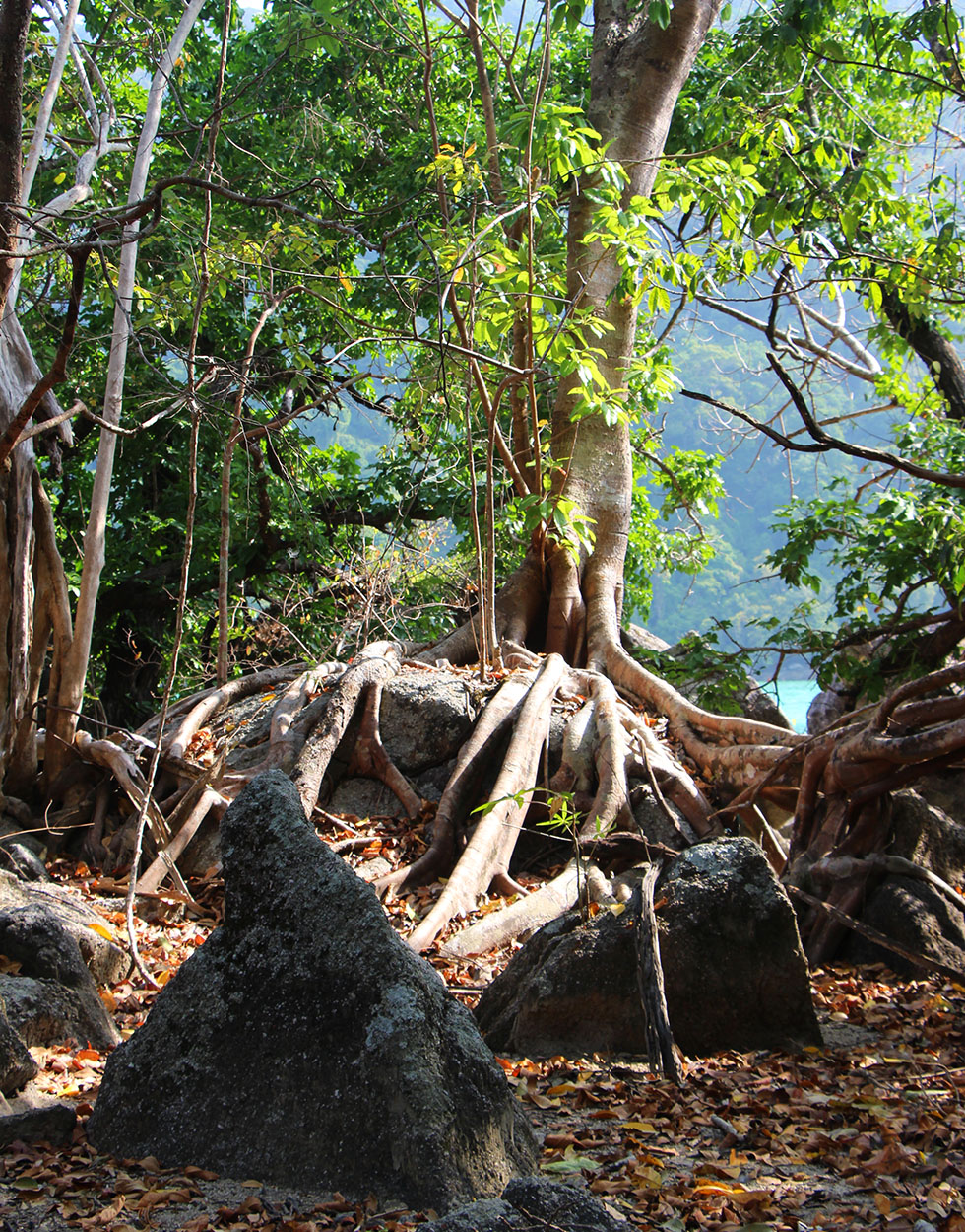 A old Bodhi tree hidden in the mangrove forest