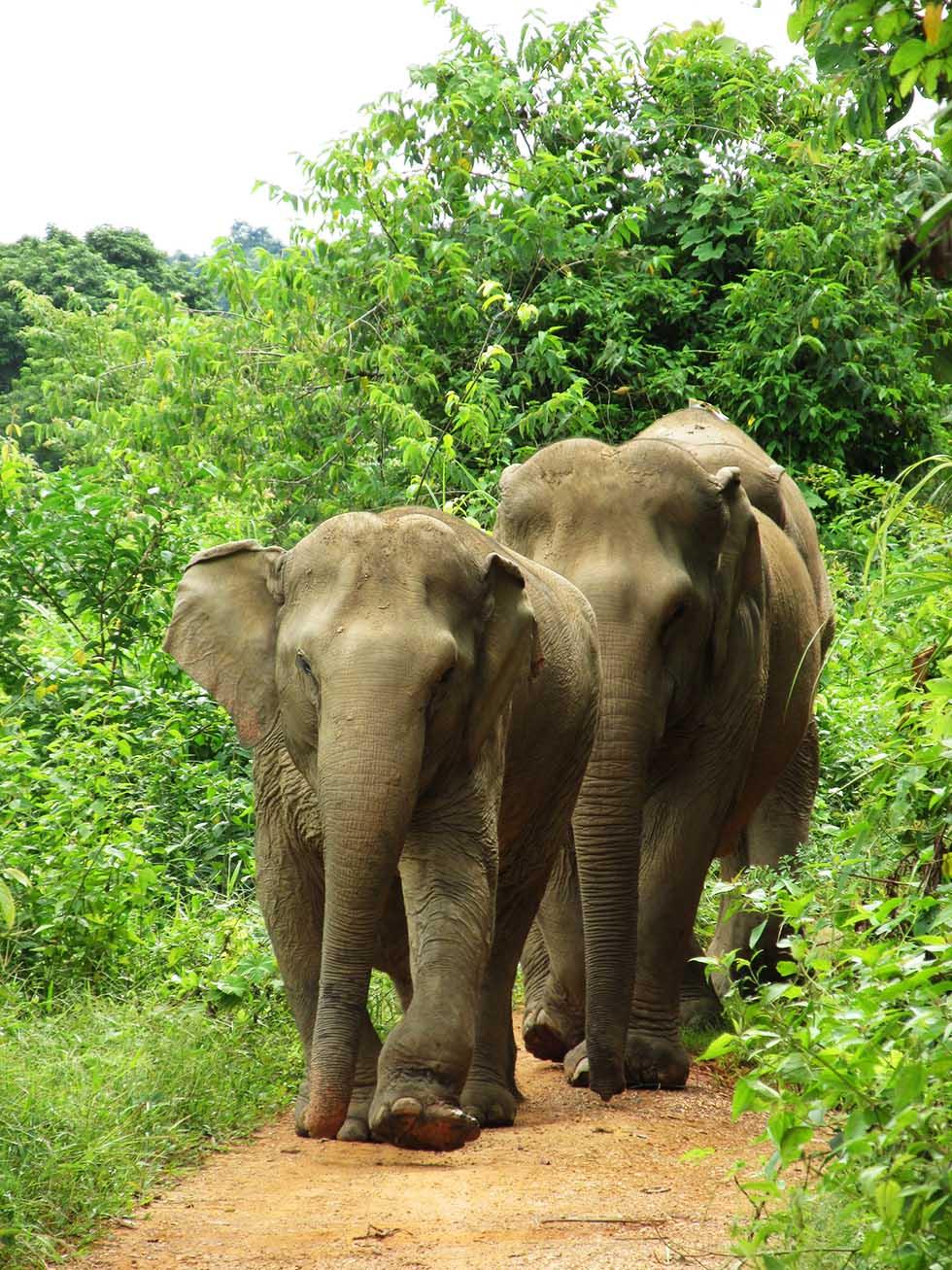 Happy elephants in Sukhothai