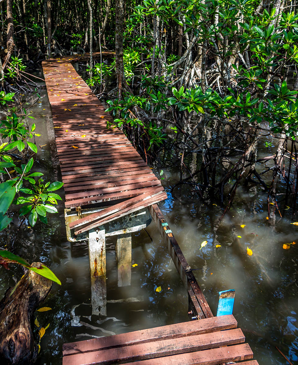 A dangerous path in the mangrove