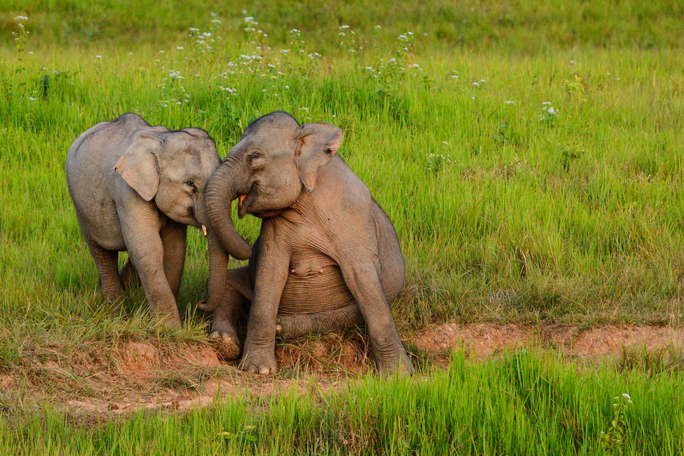 If you are VERY lucky, you can see wild elephants at Khao Yai National Park
