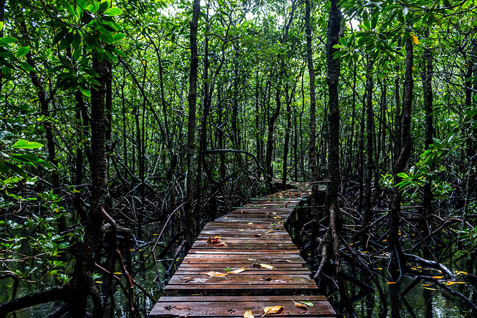 Into the Mangrove Forest