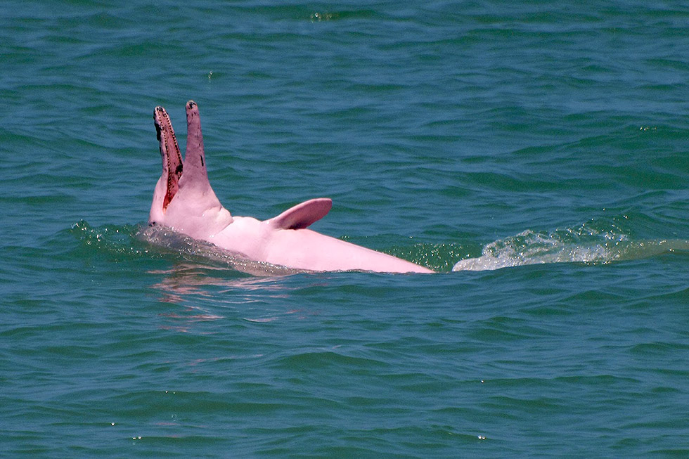 Pink dolphins in Khanom